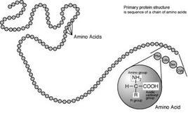 Rappresentazione della struttura primaria di una proteina