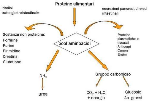 Schema dei percorsi metabolici in cui sono coinvolte le proteine