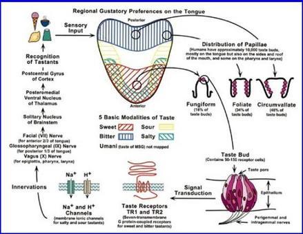 Trasmissione degli impulsi nervosi che generano la sensazione del gusto