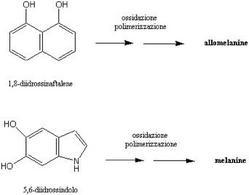 Rappresentazione schematica degli ultimi passaggi della biosintesi delle melanine.