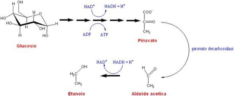 Schema della fermentazione alcolica