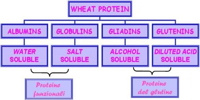Composizione proteica della cariosside di frumento