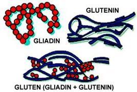 Struttura del glutine