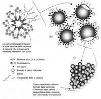 Composizione delle micelle di caseine  (da: Coultate T. La Chimica degli Alimenti – Zanichelli)