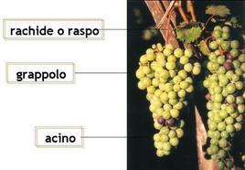 Illustrazione delle differenti parti di un grappolo d'uva