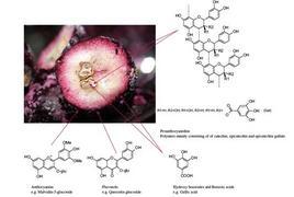 Distribuzione dei polifenoli nei diversi compartimenti dell'acino