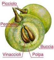 Struttura di un acino d'uva