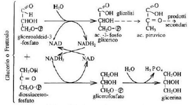 Schema della fermentazione gliceropiruvica