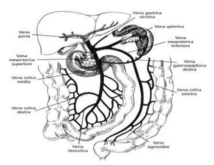 Vena mesenterica superiore e vena splenica che riceve nell'ultimo tratto la mesenterica inferiore