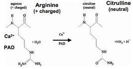 Enzymatic conversion of arginine to citrulline  is catalyzed by peptidylarginase deiminases (PADs)