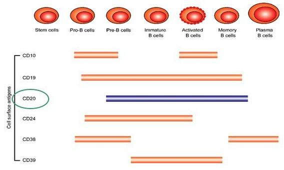 Rituximab  agisce selettivamente sul CD20  presente sulle B cellule causandone una rapida deplezione