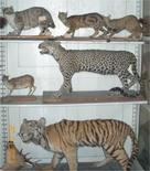 Felini (specie)