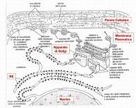 Schema dell'interazione tra Reticolo Endoplasmatico e apparato di Golgi