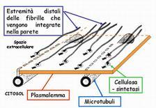 Rappresentazione schematica della sintesi e disposizione delle micelle di cellulosa