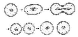 Moltiplicazione del proplastidio per scissione