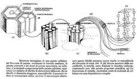 Formazione delle fibrille di cellulosa
