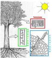 Rappresentazione schematica della teoria dell'adesione-coesione-tensione
