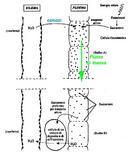 Rappresentazione grafica dell'ipotesi del flusso di massa applicata applicata al trasporto delle sostanze organiche nel floema
