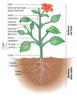 Sistema dei fusti e delle radici di una cormofita
