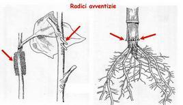 Formazione di radici avventizie a livello del caule e del colletto di una pianta