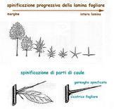 Spinificazione di foglie e parti di caule
