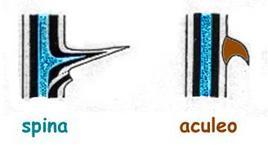 Rappresentazione schematica della differenza tra spina e aculeo