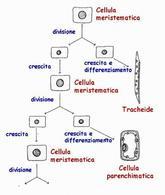 Divisione, crescita e differenziamento cellulare