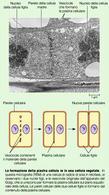 Citodieresi: ripartizione di citoplasma, strutture ed organelli cellulari tra le due cellule figlie