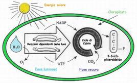 Fasi della fotosintesi e localizzazione all'interno del cloroplasto