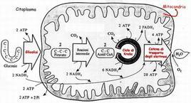 Fasi della respirazione cellulare e localizzazione in citoplasma e mitocondrio