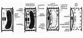 Schematizzazione delle fasi di formazione dei tubi cribosi