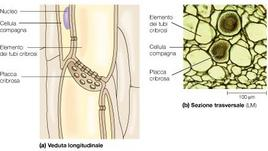 Sezione longitudinale e trasversale di tubi cribrosi in corrispondenza della placca cribrosa
