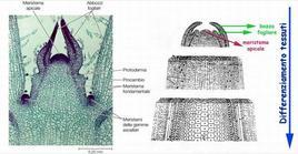Apice vegetativo visto al microscopio