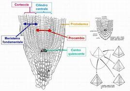 Centro quiescente e proliferazione cellulare
