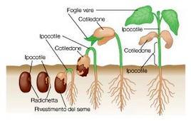 Germinazione di un seme di una dicotiledone fino allo sviluppo delle prime due foglie vere
