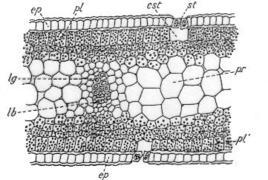 Rappresentazione schematica dell'anatomia di una foglia equifacciale