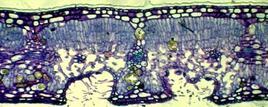 Affossamento degli stomi in cripte, presenza di tricomi e cuticola spessa nella sezione trasversale di una foglia di oleandro