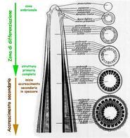 Rappresentazione grafica della sezione longitudinale di un caule in prossimità dell'apice