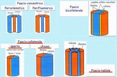 Rappresentazione schematica dei vari tipi di fascio vascolare