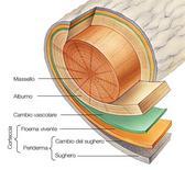 Anatomia del tronco di un albero