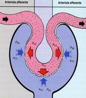 La filtrazione glomerulare