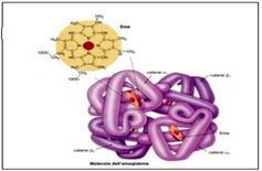 Molecola di emoglobina e suoi costituenti