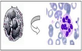 Morfologia di un granulocito neutrofilo: disegno e fotografia al microscopio ottico.