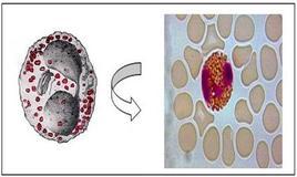 Morfologia di un granulocito eosinofilo