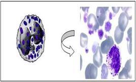 Morfologia di un granulocito basofilo