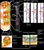 Struttura del muscolo striato