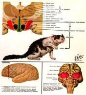 Ipotalamo nel gatto