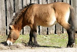 Cavalli al pascolo.Fonte: Wikipedia.