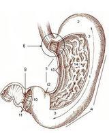 Stomaco-Anatomia Fonte: Wikipedia.