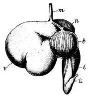Schema dello stomaco dei ruminanti: m=esofago, v=rumine, n=reticolo, b=omaso, l=abomaso, i=duodeno. Fonte: Wikipedia.